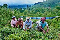 Sri Lanka, province de l'Uva, Haputale, plantations de thé, cueillette de thé, cueilleuses tamoules, train dans les plantations de thé en arrière plan // Sri Lanka, Ceylon, Central Province, Haputale, tea plantation in the Highlands, Tamil Women Tea Picker picking tea leaves, train Haputale to Ella