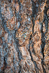 The bark of Larix decidua, European larch