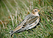 Snow Bunting Plectrophenax nivalis L 16-17cm. Confiding, plump-bodied bunting. All birds have extensive white on inner wing, rump and tail. Sexes are dissimilar. Adult male in summer has mainly white plumage with blackish back, black on wings, and black bill and legs. Adult female in summer is similar but back is brownish and has brown and buff streaking on head, neck and sides of breast. Winter birds have mainly white underparts and buffish orange upperparts. Adult males are whitest on wings, face and underparts. Bill is yellowish and legs are black. Voice Has tinkling flight call. Song is twittering. Status Small numbers breed in Scottish mountains but best known as winter visitor, commonest on E coast; saltmarshes, coastal grassland and beach strandlines are favoured.