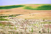 Ripening Wheat and Field Grasses, Palouse Region, Washington State