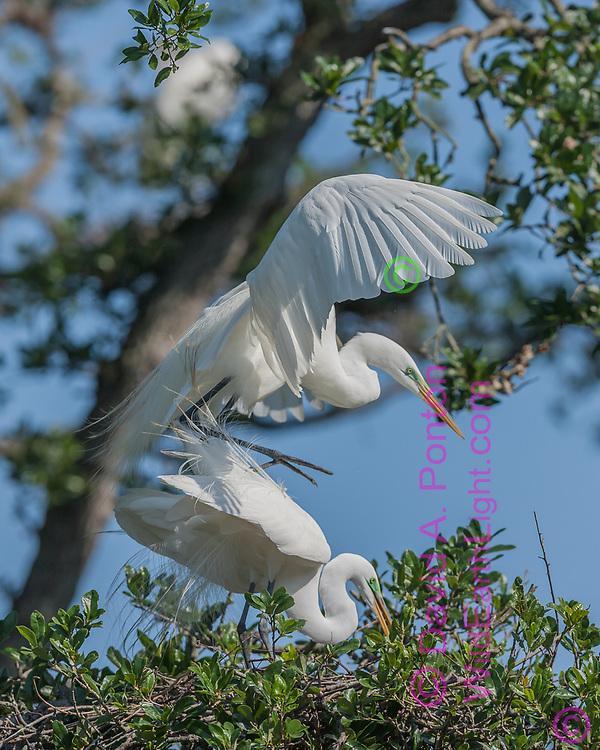 Great eagret male standsing up on back of female after copulation, Florida, © David A. Ponton