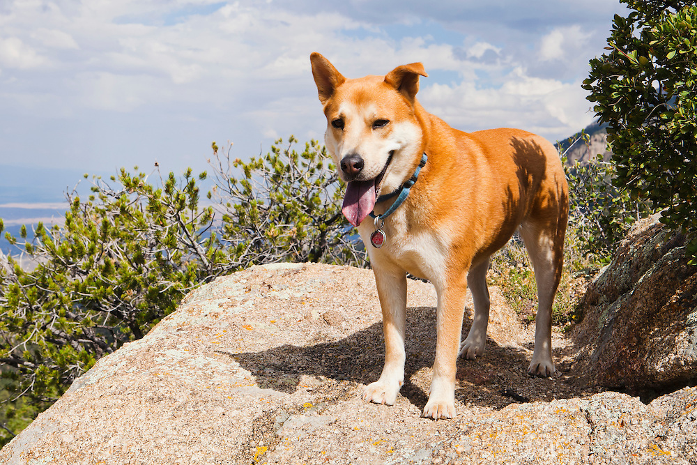 Portrait of a dog in the Sandia Mountains outside Albuquerque, new Mexico, USA.