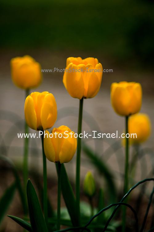 Blooming yellow tulip flowers close up