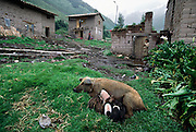 A nursing sow lies in the grass near the Huaman family home in Chicon, Peru, in the Urubamba River Valley.