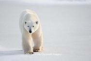 01874-12003 Polar Bear (Ursus maritimus) in winter, Churchill Wildlife Management Area, Churchill, MB Canada