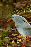 Cagou (Cagu bird), a ground living bird, of which only 800 exist in the wild in the world), Parc de la Riviere-Bleue (Blue River Provincial Park), Grande Terre, New Caledonia