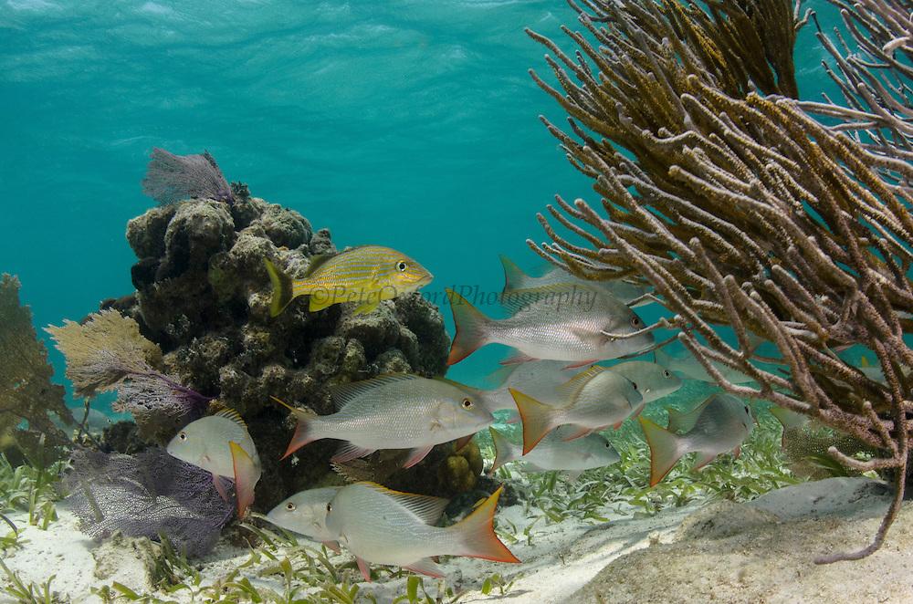 Mutton Snapper (Lutjanus analis) & Bluestriped Grunt (Haemulon sciurus)<br /> Hol Chan Marine Reserve<br /> near Ambergris Caye and Caye Caulker<br /> Belize<br /> Central America