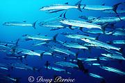 schooling blackfin barracuda, Sphyraena qenie, Blue Corner, Palau ( Belau ), Micronesia ( Western Pacific Ocean )