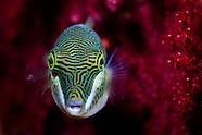 Canthigaster callisterna (Sharp-nosed pufferfish)
