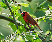 Northern Cardinal. Image taken with a Nikon D850 camera and 200-500 mm f/5.6 VR lens