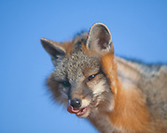Gray fox  licking its lips and nose, [captive, controlled conditions] © David A. Ponton