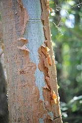Tree Sheding Bark