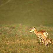 Pronghorn Antelope, twin fawns nursing from doe on prairie. Spring.