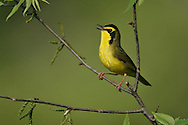 Kentucky Warbler - Oporornis formosus - male
