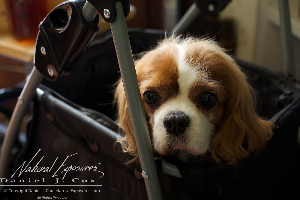 A Cavalier King Charles Spaniel in a stroller at a small restaurant in Siena, italy