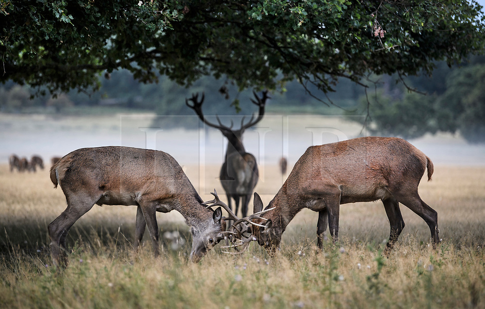 © Licensed to London News Pictures. 01/09/2019. London, UK. Deer rutting in a mist covered landscape at first light in Richmond Park on the first day of meteorological autumn. Photo credit: Ben Cawthra/LNP
