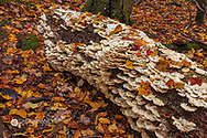 Oyster Mushrooms on decaying log in Porcupine Mountains Wilderness State Park in the Upper Peninsula of Michigan, USA