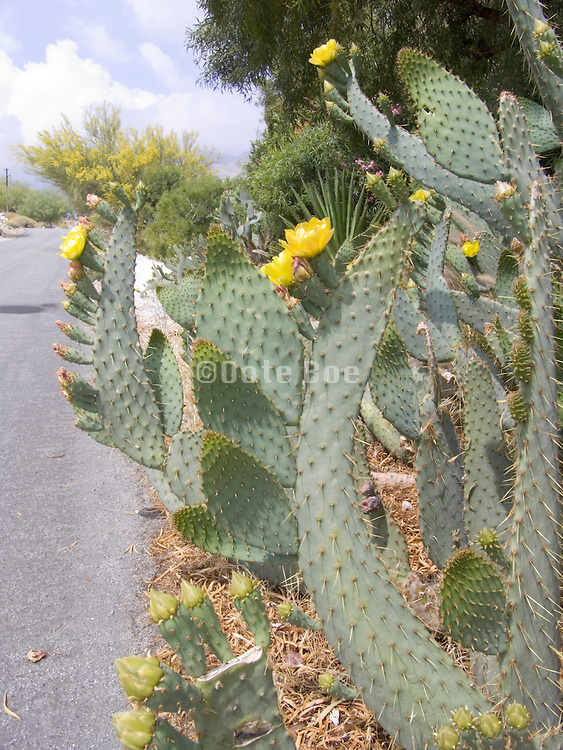 A cactus growing near the road in Palm Springs. USA