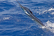 Jumping White Marlin with dangling Remora.