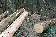 cut down trees with stump