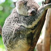 Koalas at Taronga Zoo