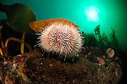Edible sea urchin (Echinus esculentus), Atlantic Ocean, Strømsholmen, North West Norway | Essbarer Seeigel (Echinus esculentus), Atlantischer Ozean, Strømsholmen, Nordwestküste von Norwegen