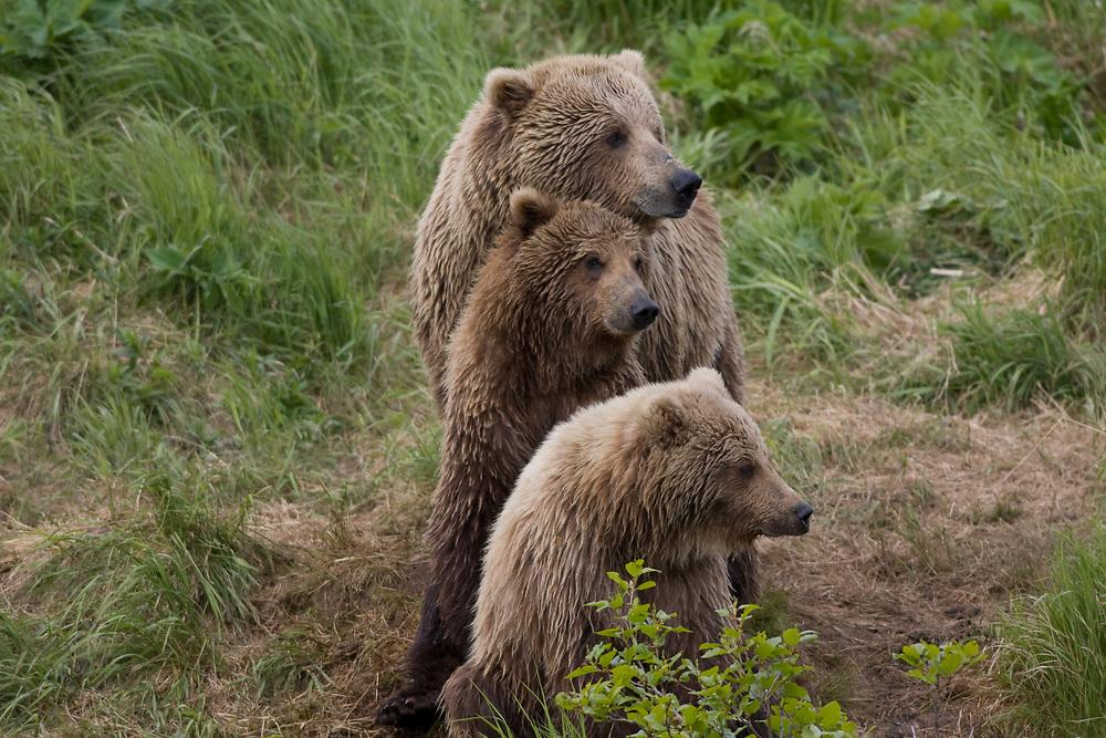 a brown bear family sits like a totem pole at McNeil River, Alaska