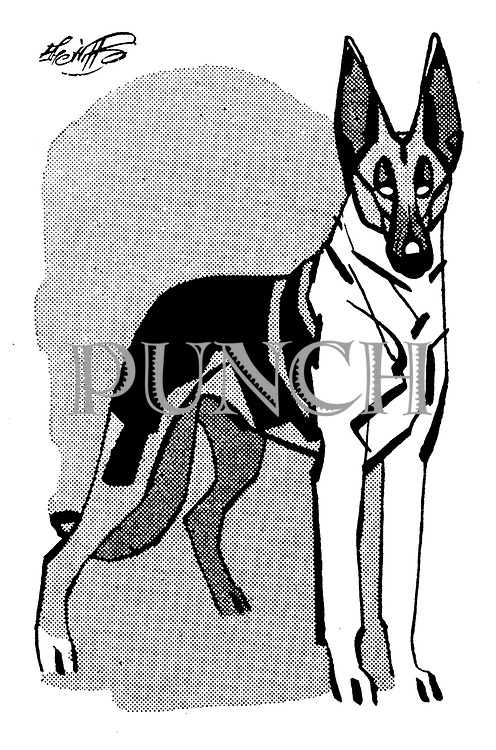 Basenji! Chihuahuas! Croydon Canine Society ' s Championship Dog Show