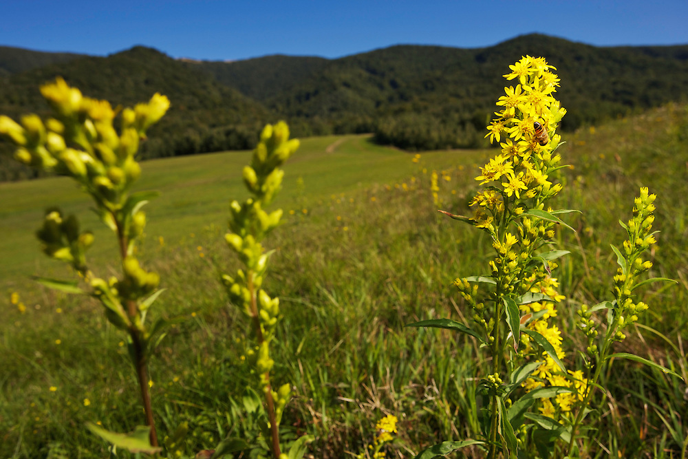 Golden rod (Solidago sp.) flowering on a meadow at the foothills of Mount Dorkovec (1189 m) after mowing it. Close to the village of Runina, Slovakia.