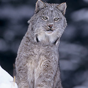 Canada Lynx, (Lynx canadensis) Adult in snow covered Rocky mountains. Montana. Winter. Captive Animal.