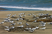 White-fronted terns (Sterna Striata) on a beach near South Head on the Tasman Sea,  North Island, New Zealand