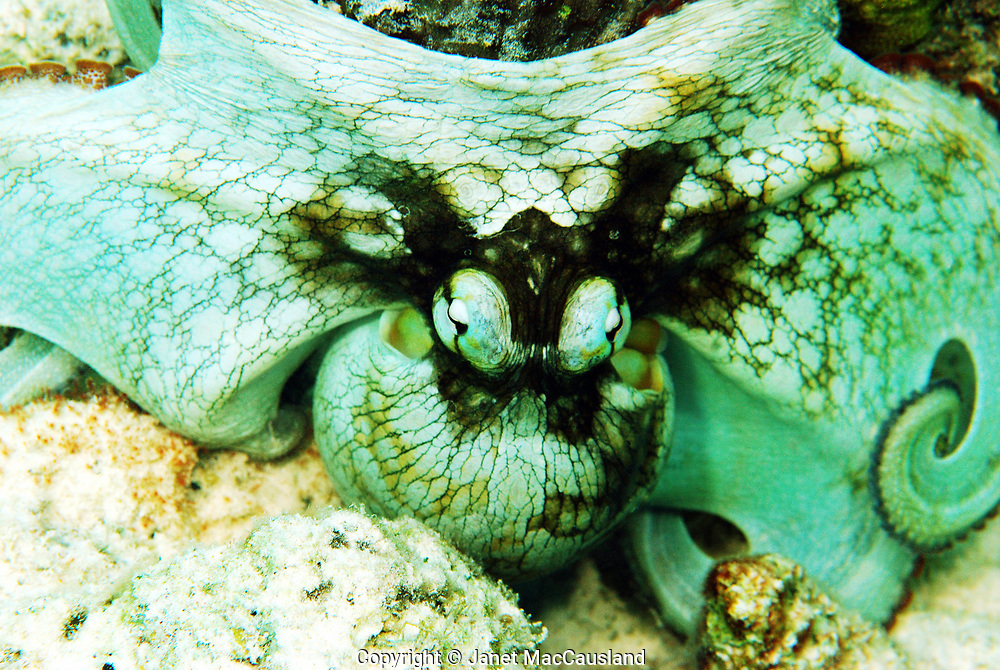 """The Caribbean reef octopus (Octopus briareus) makes its home on coral reefs. It is eight legged. The mantle, which classifies it as a Mollusk, changes color and texture to blend into its surroundings, using special skin cells known as chromatophores. It can change colors from green to red, and skin texture from smooth to bumpy in seconds. It typically weighs under 3 1/2 lbs. When stressed, octopi can deliver a cloud of black """"ink"""" as it makes its get away. Here it has become a smooth aqua blue, and spread itself out to appear to big to fit into my mouth."""