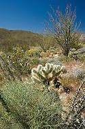 Ocotillo, Cholla and Brittlebush in the Anza Borrego Desert in springtime, California, USA