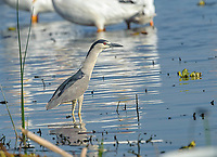 Black-crowned night heron (Nycticorax nycticorax) on Lake Chapala, Jalisco, Mexico