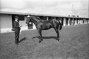 17/09/1968<br /> 09/17/1968<br /> 17 September 1968<br /> Goffs September Bloodstock sales at the RDS, Ballsbridge Dublin (2nd day). Picture shows a yearling brown colt (foaled 11th April 1967), the property of Miss E.B.C. Laidlaw and Mr T.K. Laidlaw, Abbey Lodge Holdings, which was bought by Mr P.J. Prendergast for 8,200 guineas.