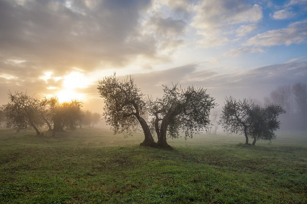 Olive trees in Tuscany countryside at sunrise during a foggy winter morning