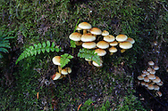 Small group of mushrooms and Green Spleenwort (Asplenium viride) growing on a tree stump. Photographed along the Lower Falls Trail in Golden Ears Provincial Park in Maple Ridge, British Columbia, Canada