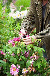 Deadheading rose. Rosa gallica var. officinalis 'Versicolor' - Rosa mundi rose, Apothecary's rose, French rose