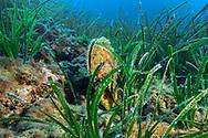 Noble pen shell-Grande nacre (Pinna nobilis) of Méditerranée sea.