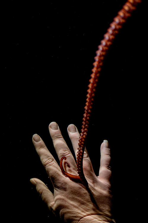 The tentacle of a captive giant Pacific octopus (Enteroctopus dofleini) reaches out to one of her caretakers. The intelligent animals need stimulation to thrive. Image made at the Shaw Center for the Salish Sea.