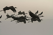 Common crane (Grus grus). Large migratory crane species that lives in wet meadows and marshland. Photographed in the Agamon lake, Hula Valley, Israel, in January