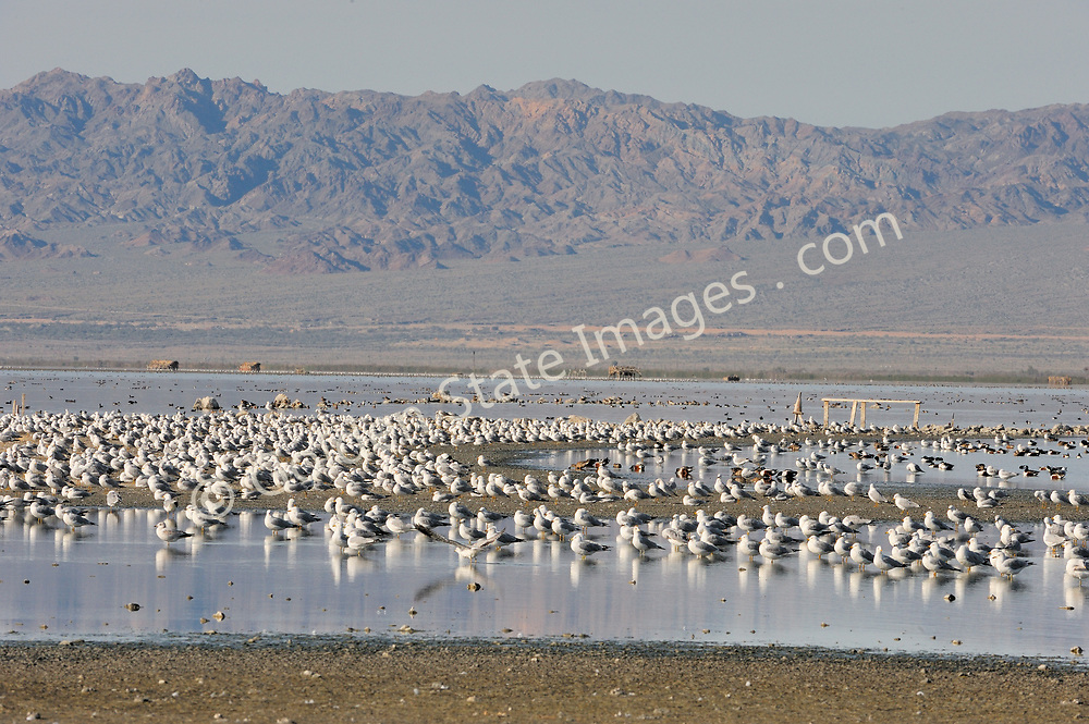 The Salton Sea is home to huge numbers of Seagulls. <br /> <br /> The Salton Sea is an enclosed basin. Evaporation is the only means for water to escape once it has flowed into this inland sea. <br /> <br /> This leaves behind salt and mineral deposits and is the cause of the ever increasing salinity and pollution that plagues the Salton Sea.<br /> <br /> The Salton Sea continues to shrink due to evaporation. The water which is left is ever more saline.