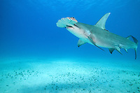 A tagged Great Hammerhead Shark swims toward the surface<br /> <br /> Shot in Bahamas