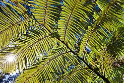 Ferns in ohi'a forest in Volcanoes National Park, Hawaii
