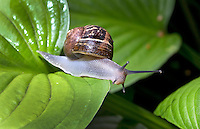 HAARLEM - Op het veld, in de tuin en ook in hun blootje: slakken kunnen een ware plaag zijn. Door aangevreten bladeren en stengels verraden ze hun aanwezigheid. Een enkele soort laat een zilvergrijs spoor na op tegels en andere verhardingen. De gewone tuinslak (Cepaea nemoralis) is een slak uit de familie Helicidae. Andere benamingen zijn duinslak, of roze tuinslak. ANP COPYRIGHT KOEN SUYK