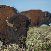 An American Bison (Bison bison) grazes at the American Prairie Reserve in Phillips County, Montana.