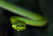 Green Vine Snake, Oxybelis fulgidus, is a long, slender arboreal Colubrid, inhabits Central America and northern South America, portrait.Central America....
