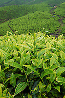 Inde, Etat du Kerala, Munnar, plantation de the, feuilles de the // India, Kerala state, Munnar, tea plantations, tea leaf
