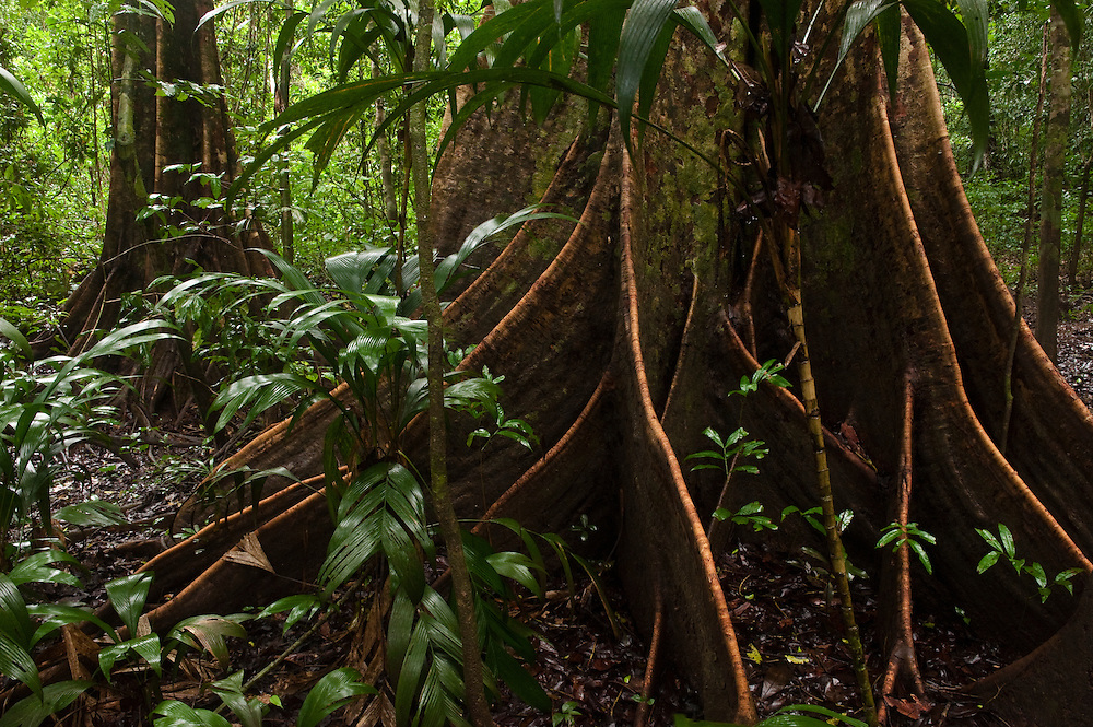 Buttress roots rainforest understory,<br /> Rewa River,<br /> Guyana, South America