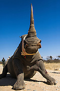 White Rhinoceros (Ceratotherium simum)<br /> Madikwe Game Reserve<br /> North West Province<br /> SOUTH AFRICA<br /> Capture for relocation to other reserve